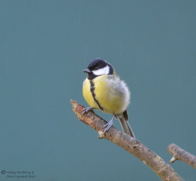 great-tit-4