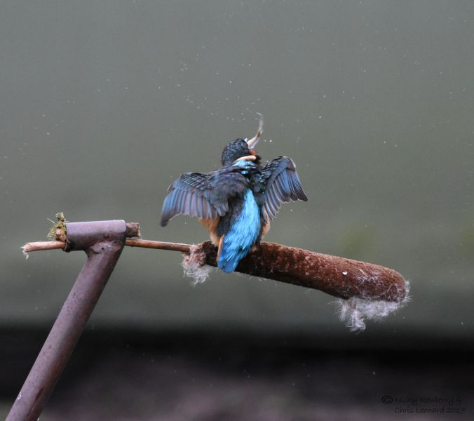 kingfisher-with-fish-3