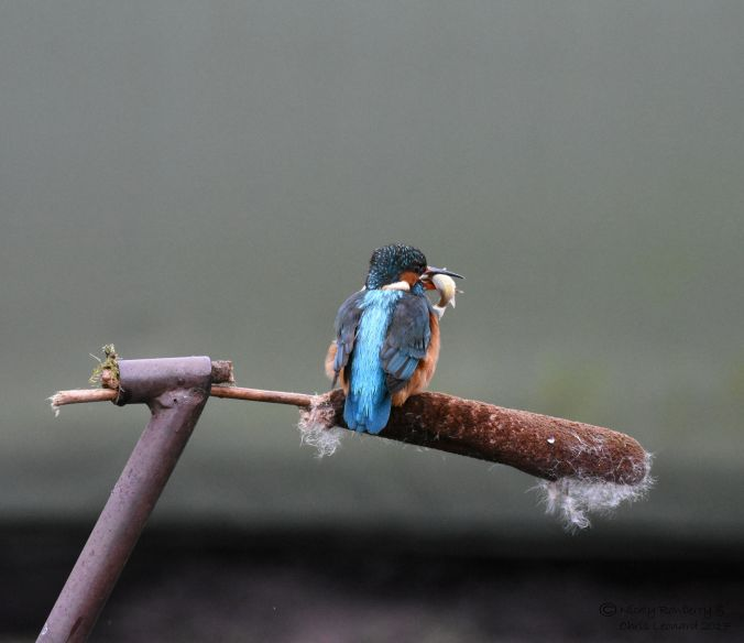 kingfisher-with-fish-4