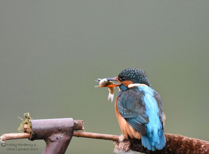 kingfisher-with-fish-6