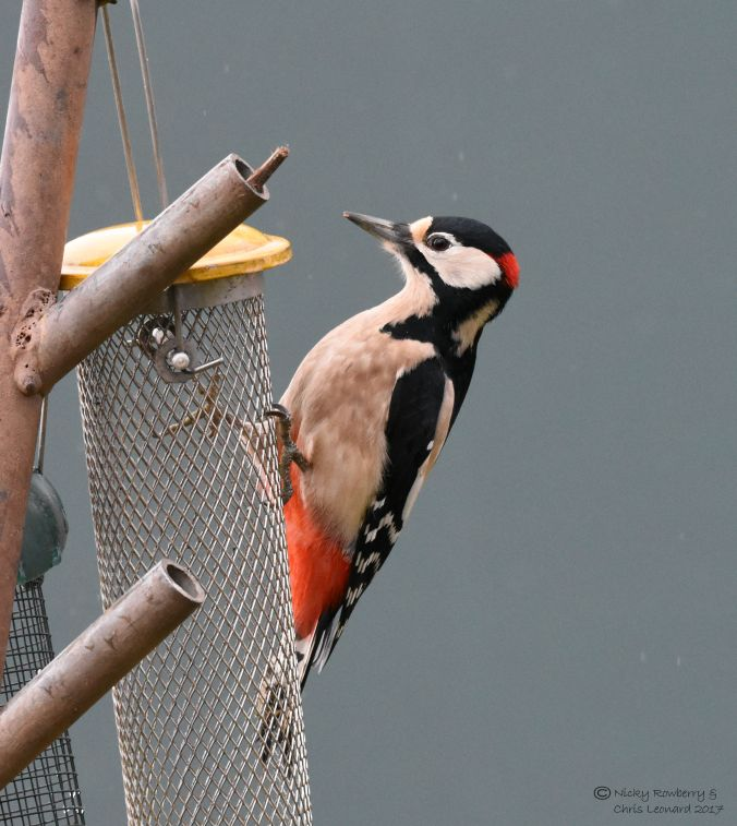woodpecker-on-feeder