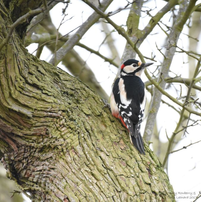 woodpecker-on-tree-2