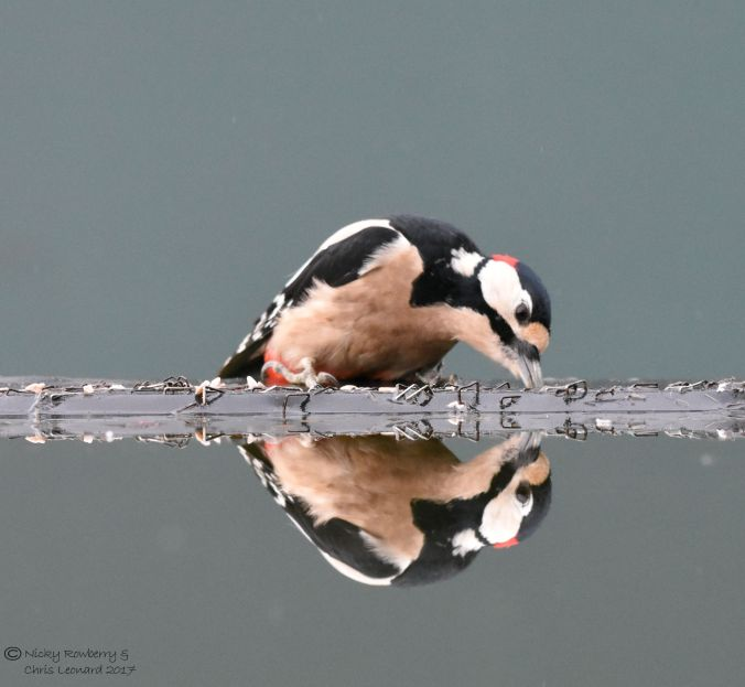 woodpecker-reflection-2