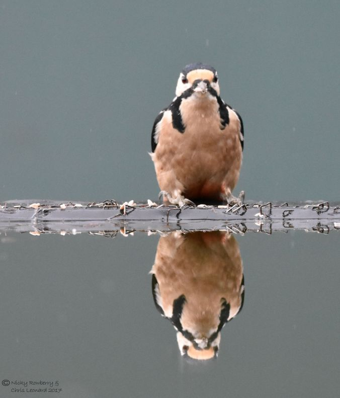 woodpecker-reflection-3
