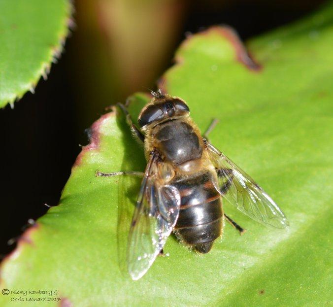 hoverfly-eristalis-tenax