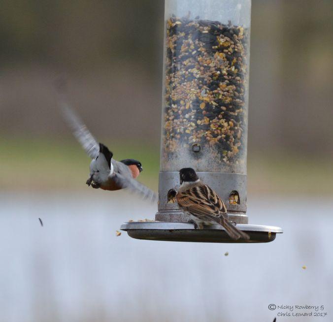bullfinch-bunting-2
