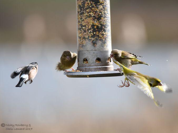 bullfinch-greenfinches