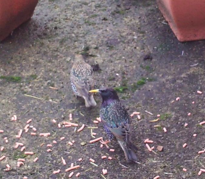 patio-starlings