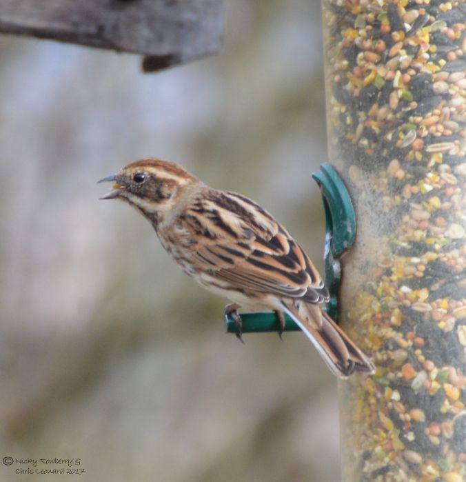 reed-bunting-female