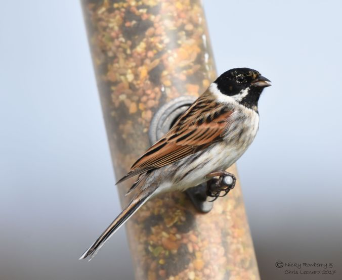 reed-bunting