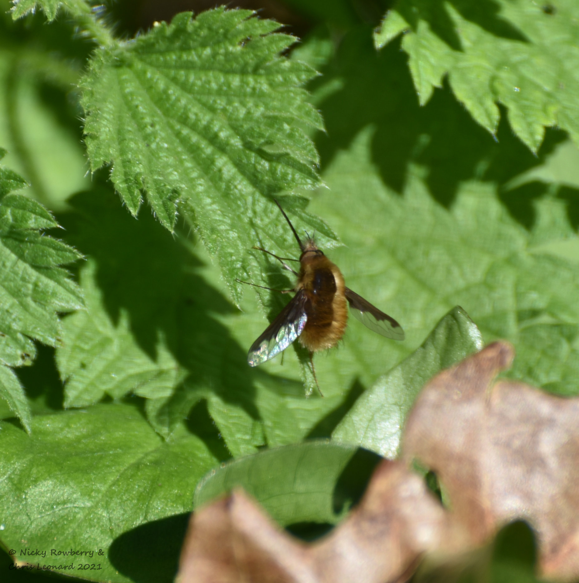 beefly 2