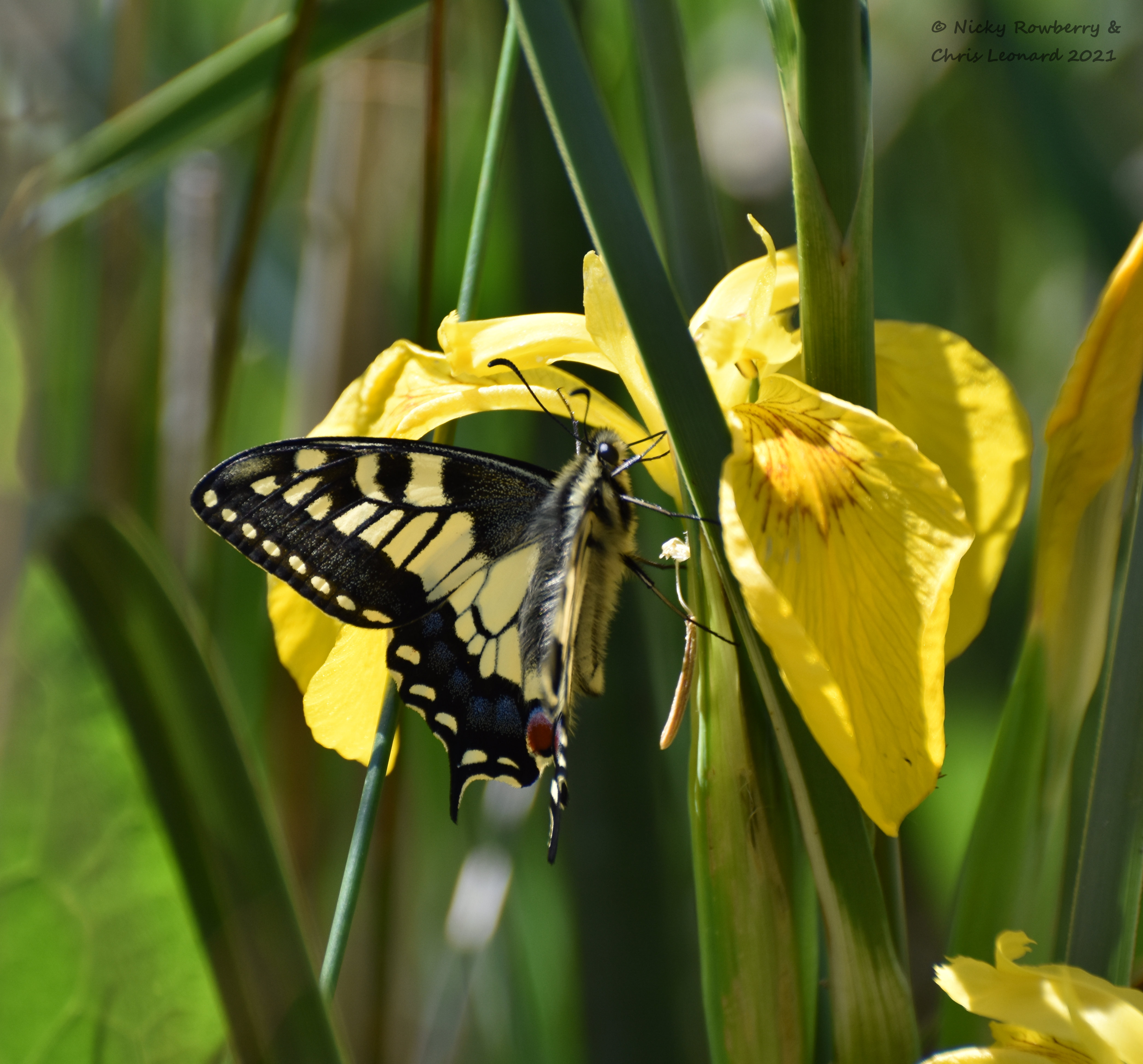 swallowtail (1)