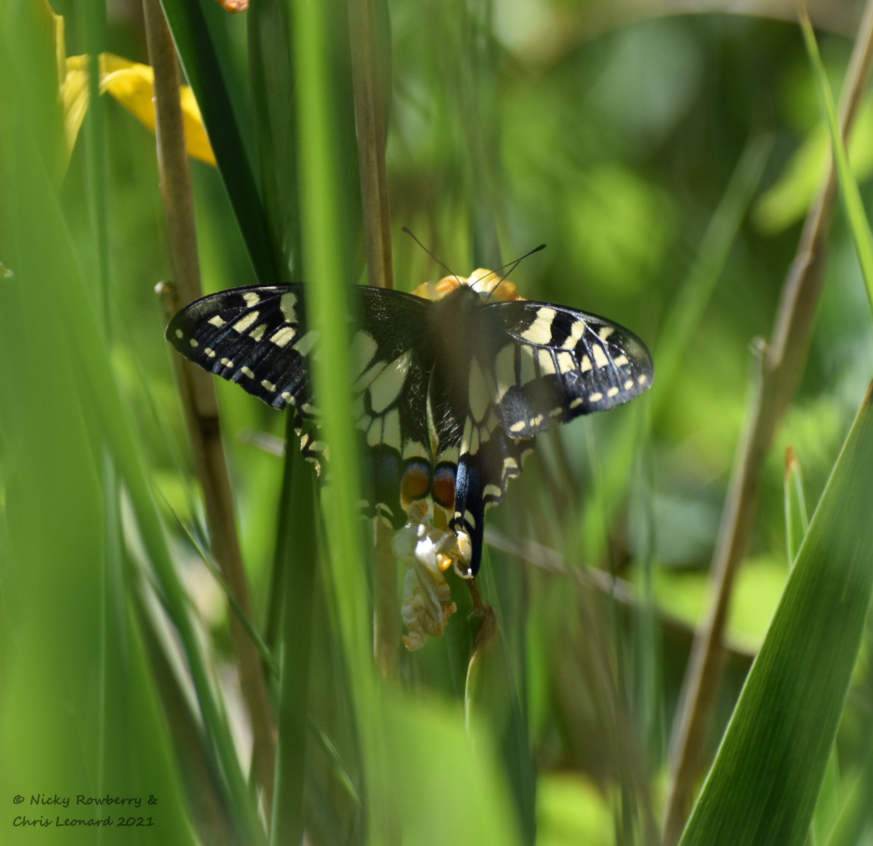 swallowtail (3)