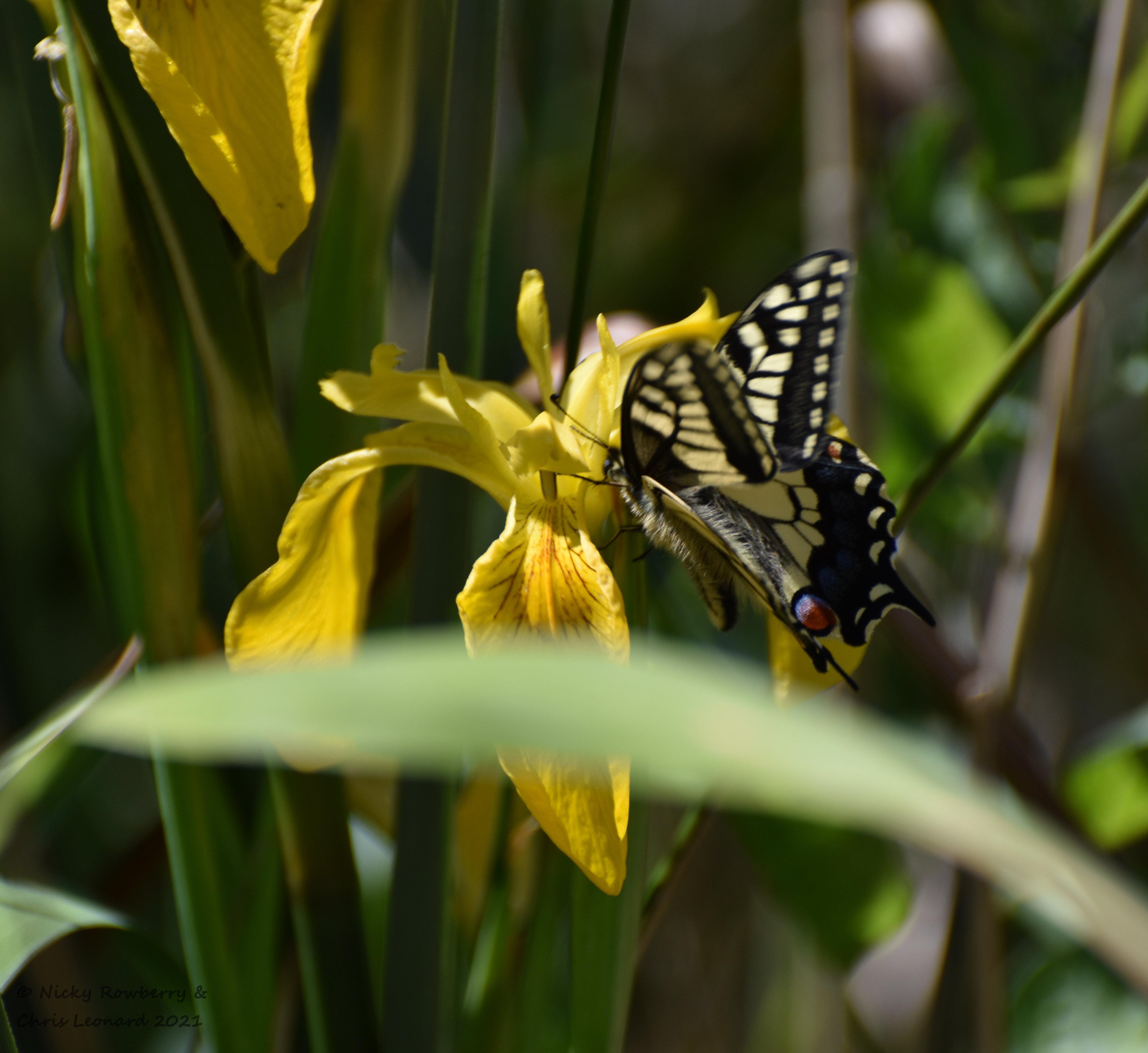 swallowtail (4)