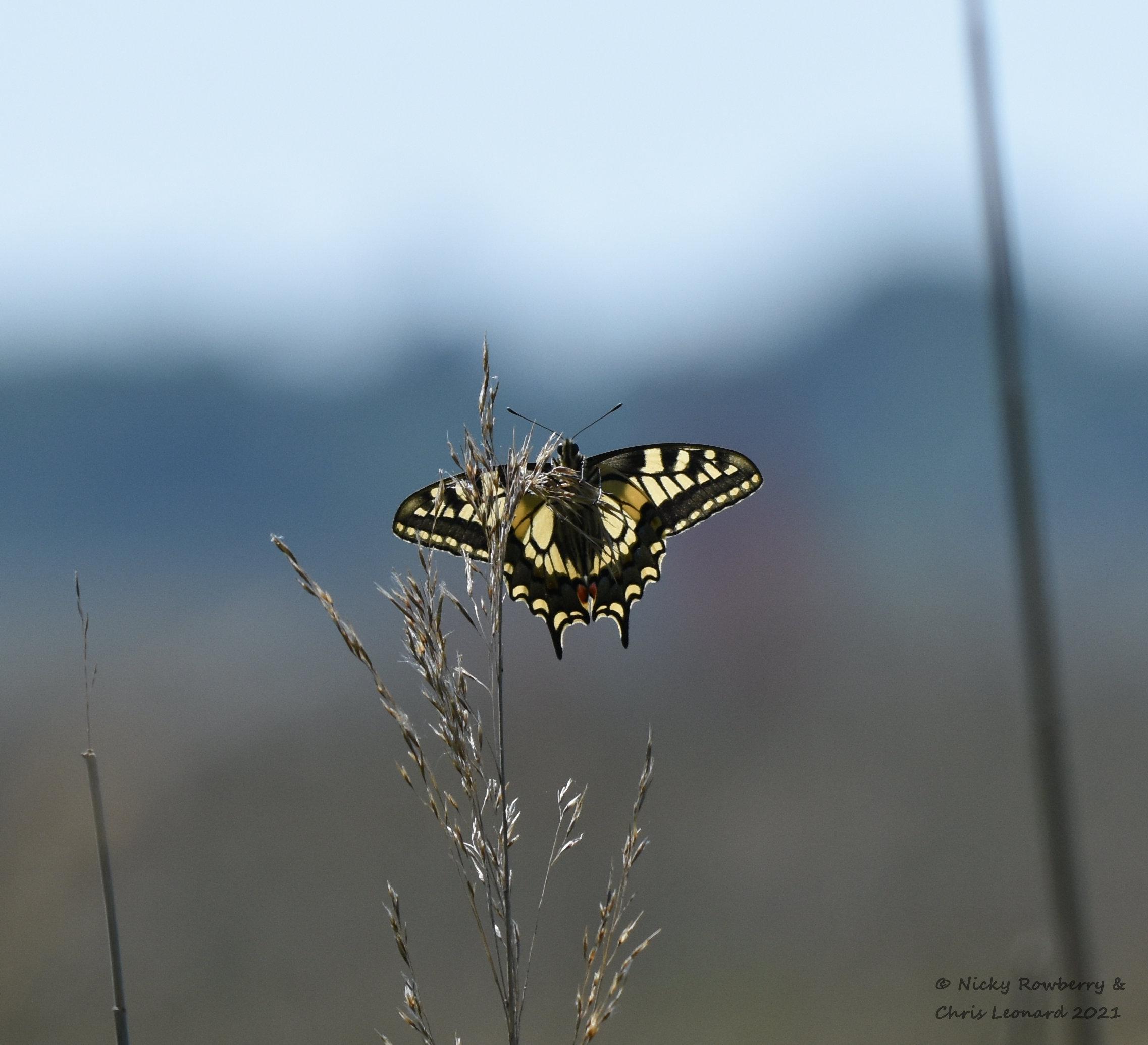 swallowtail on grass