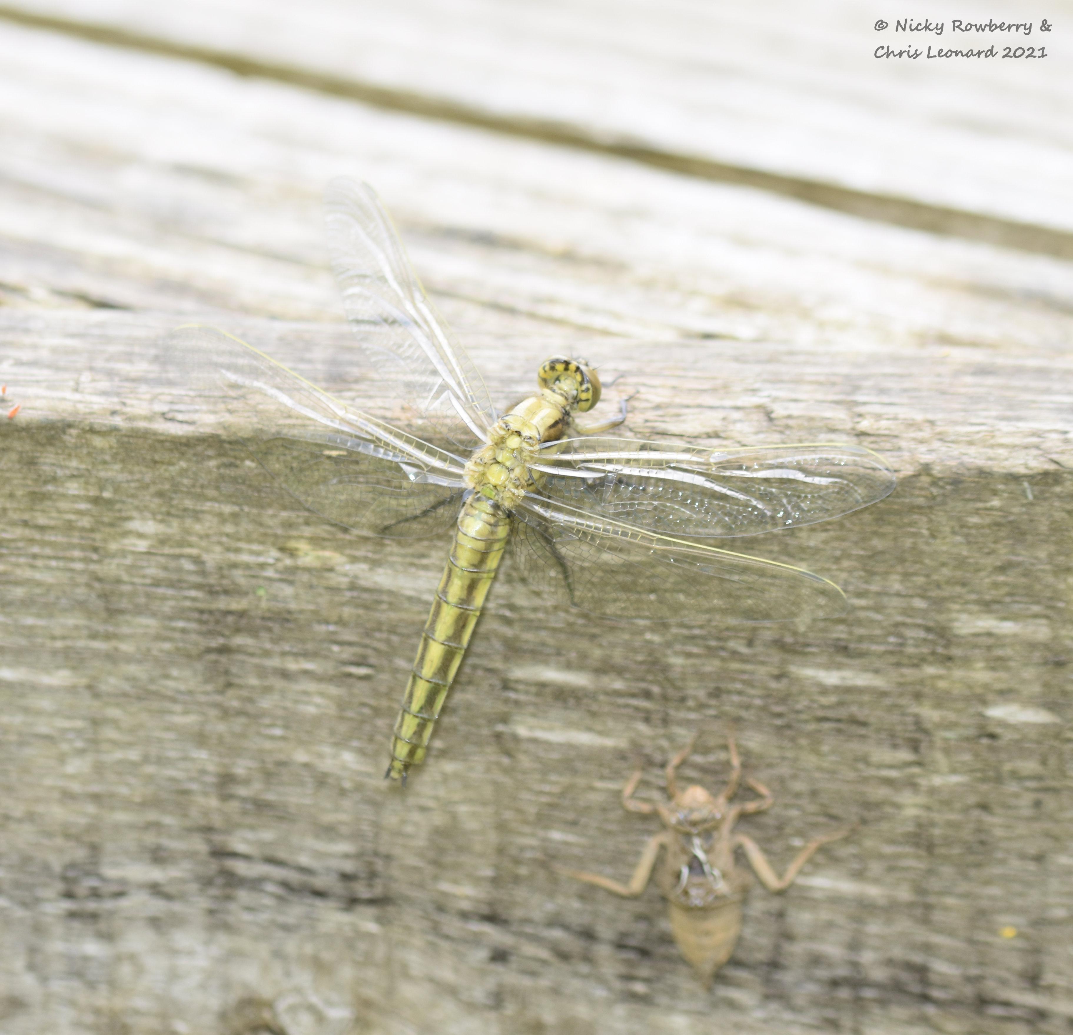 Black Tail Skimmer emerging 3