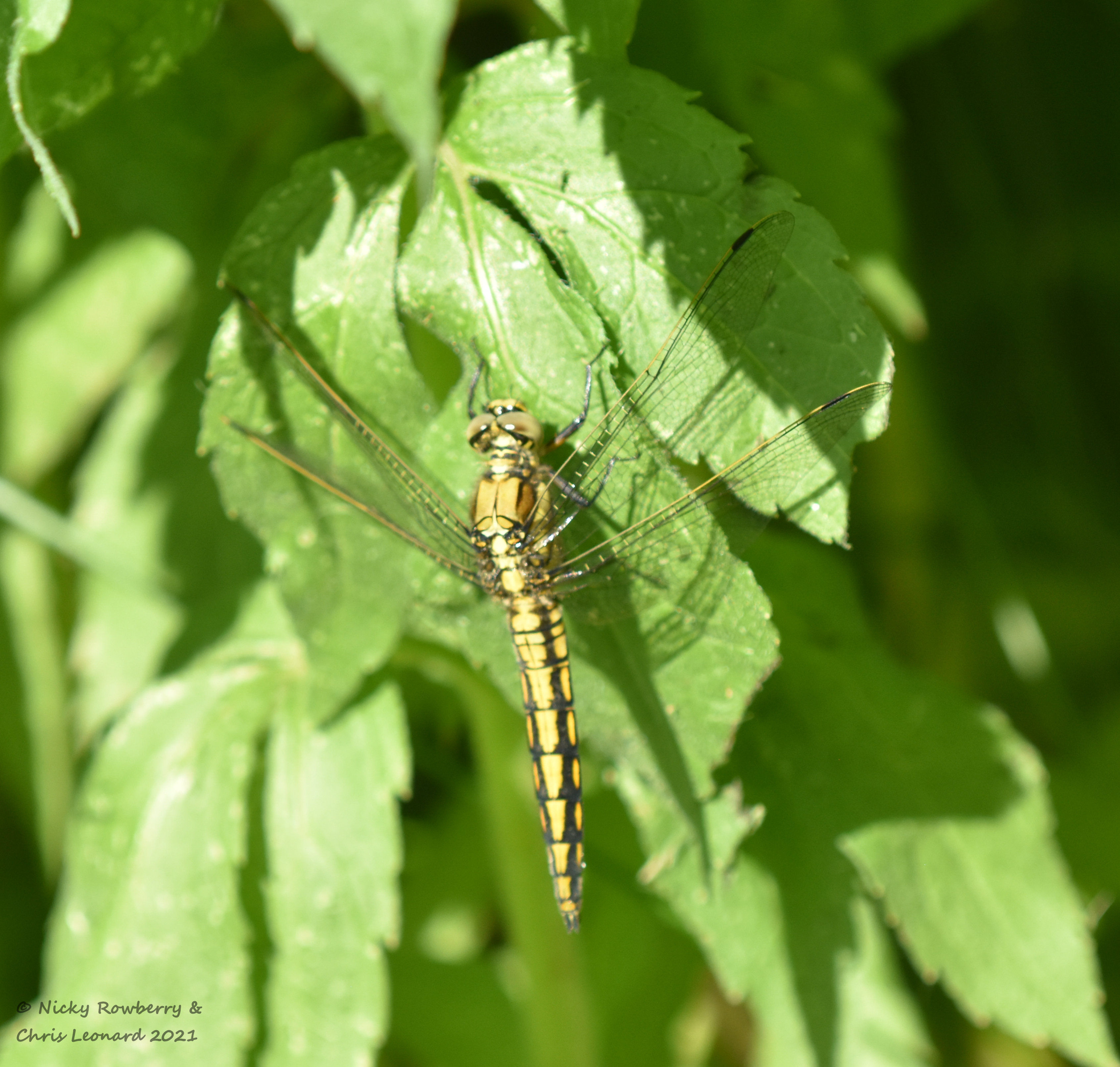 Black tailed skimmer immature male drakes