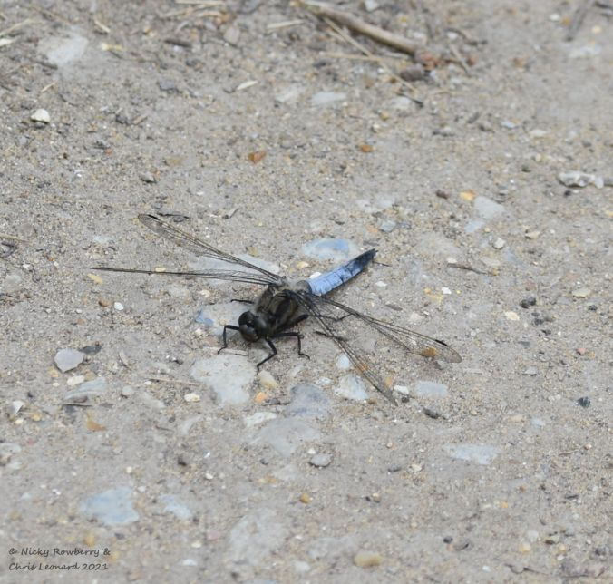 black tailed skimmer male 2 hickling