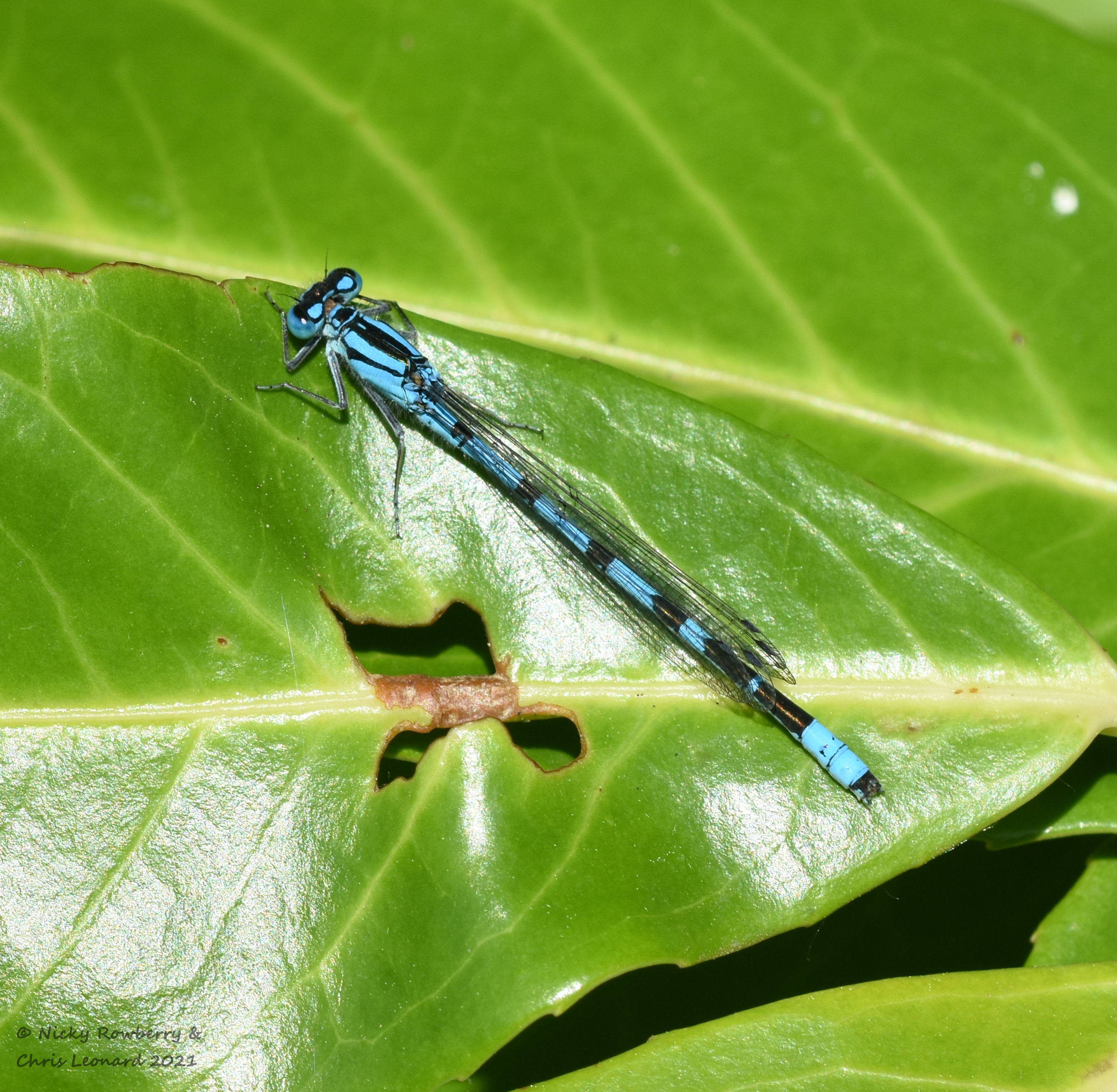 common blue damselfly male drakes