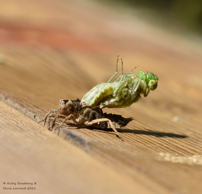 Dragonfly 1 emerging 3