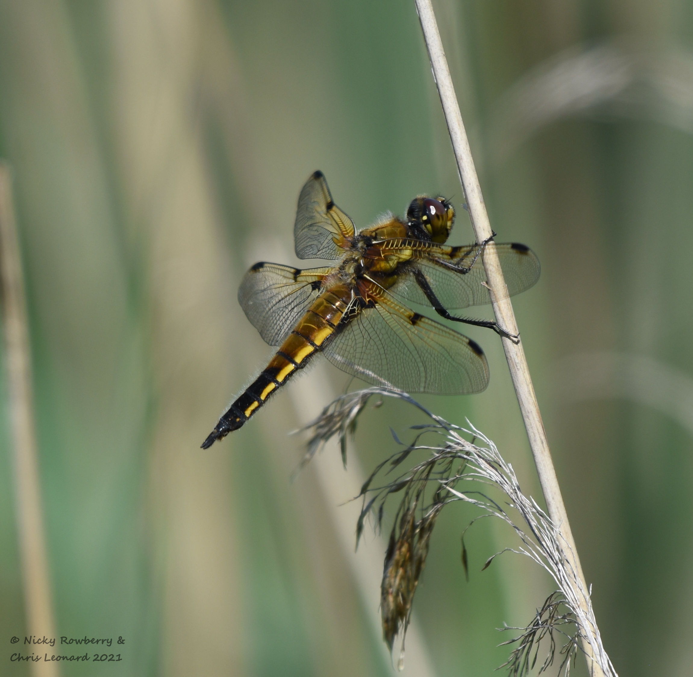 Four spotted chaser Hickling
