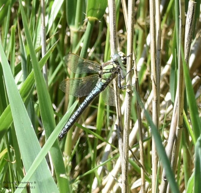 Hairy dragonfly Hickling