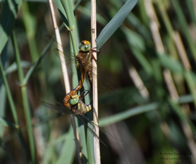 Norfolk hawkers mating hickling